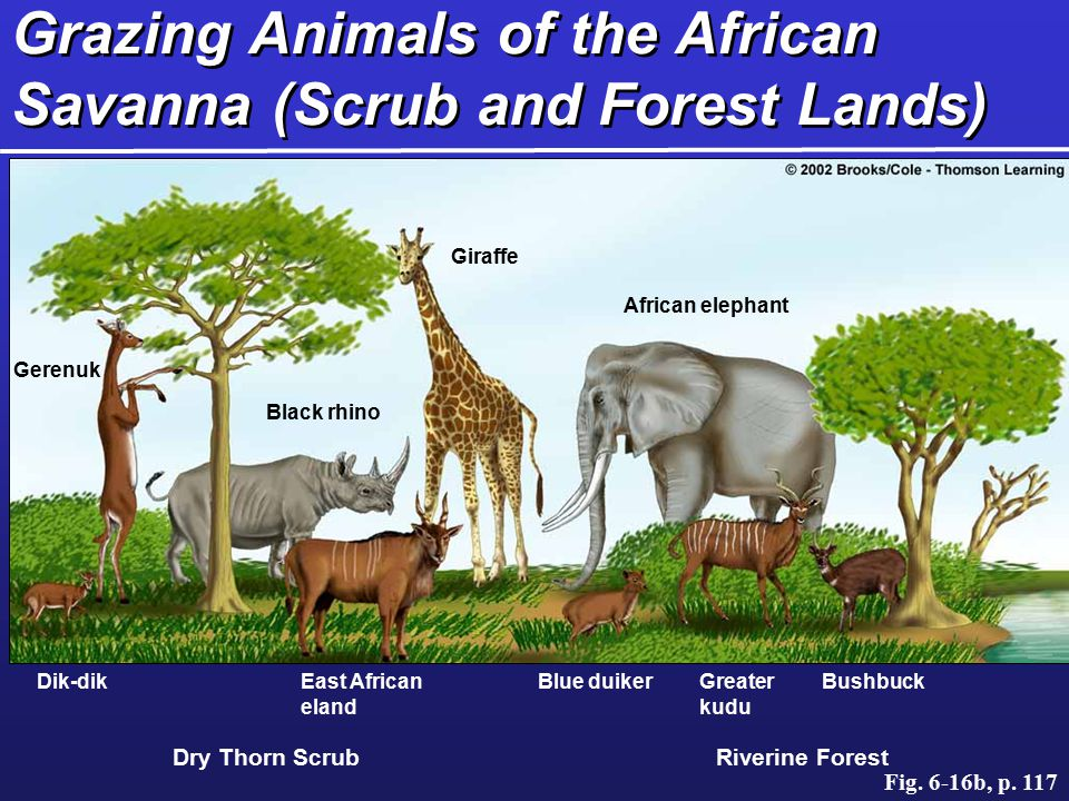 Grazing Animals of the African Savanna (Scrub and Forest Lands)