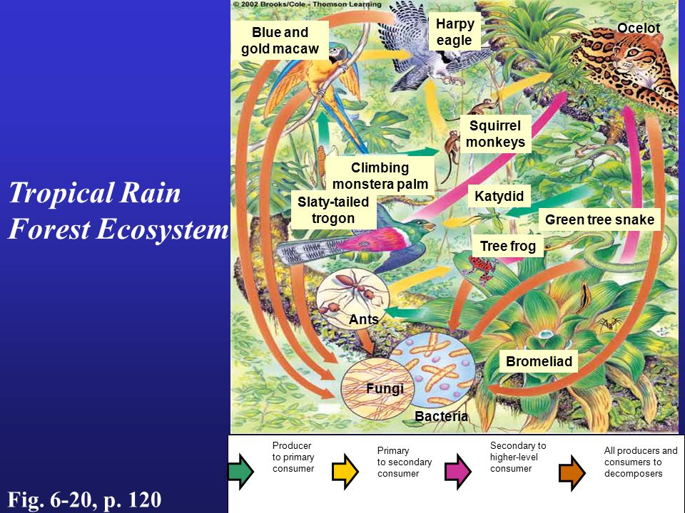Tropical Rain Forest Ecosystem Fig. 6-20, p. 120 Harpy Ocelot Blue and