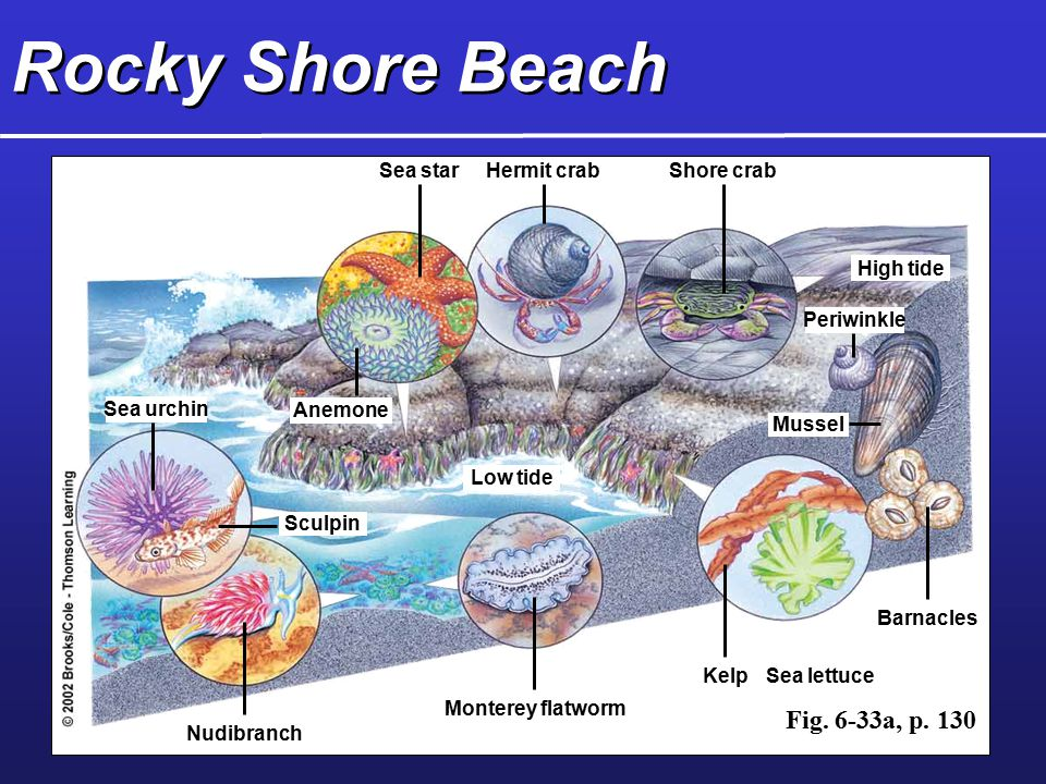 Rocky Shore Beach Fig. 6-33a, p. 130 Sea star Hermit crab Shore crab