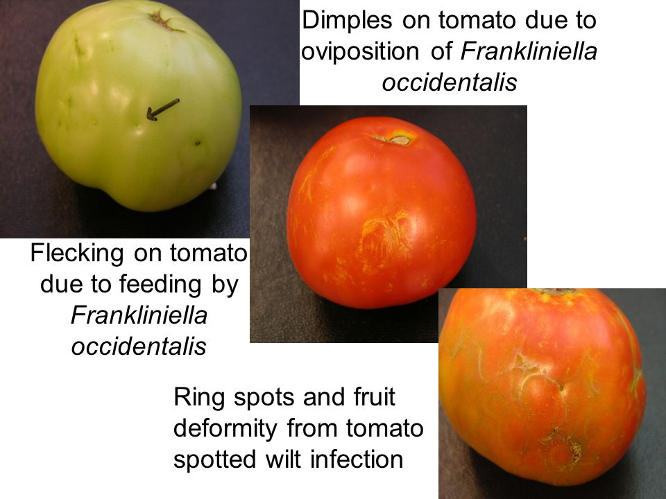 Dimples on tomato due to oviposition of Frankliniella occidentalis
