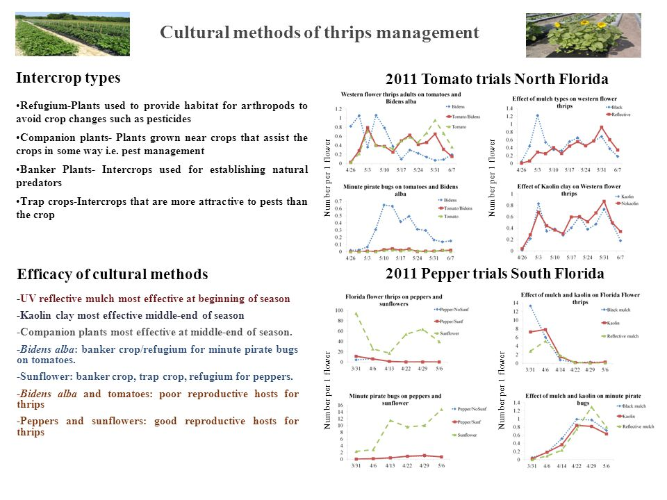 Cultural methods of thrips management