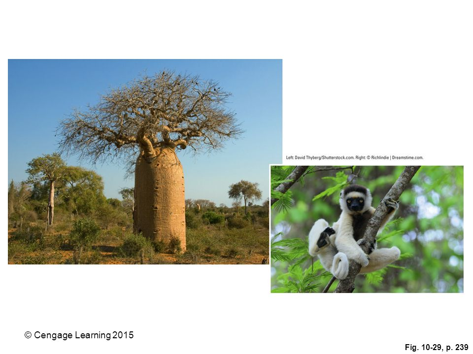 Figure 10-29: Madagascar is the only home for six of the world's eight baobab tree species (left), old-growth trees that are disappearing. This tree survives the desertlike conditions on part of the island by storing water in its large bottle-shaped trunk. The island is also the only home of more than 70 species of lemurs, including the threatened Verreaux's sifaka, or dancing lemur (right).