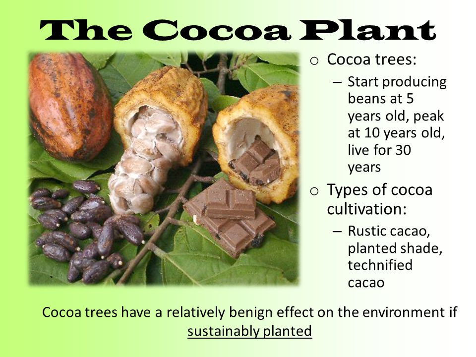 The Cocoa Plant Cocoa trees: Types of cocoa cultivation: