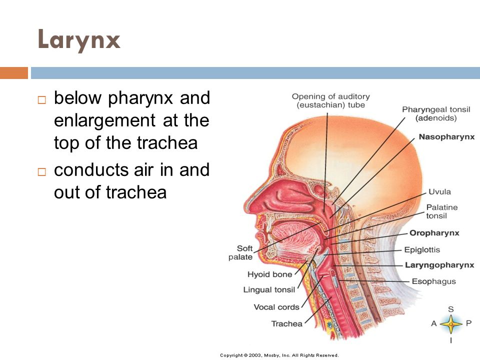 Larynx below pharynx and enlargement at the top of the trachea
