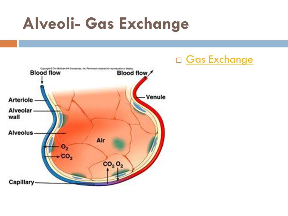 Alveoli- Gas Exchange Gas Exchange