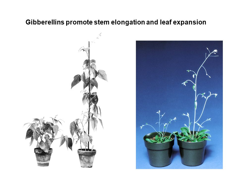Gibberellins promote stem elongation and leaf expansion
