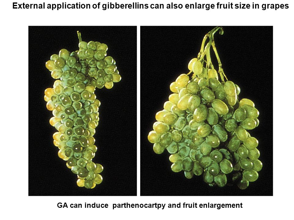 External application of gibberellins can also enlarge fruit size in grapes