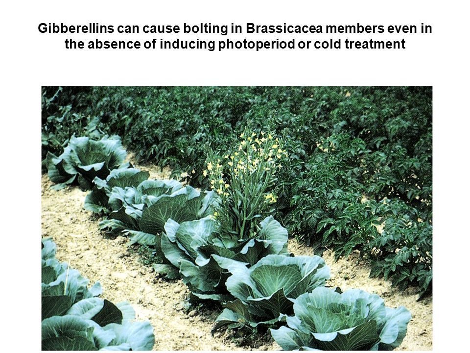 Gibberellins can cause bolting in Brassicacea members even in the absence of inducing photoperiod or cold treatment