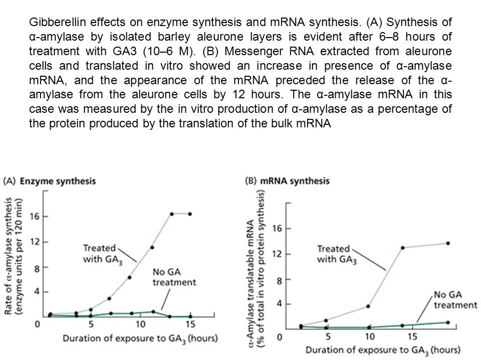 Gibberellin effects on enzyme synthesis and mRNA synthesis