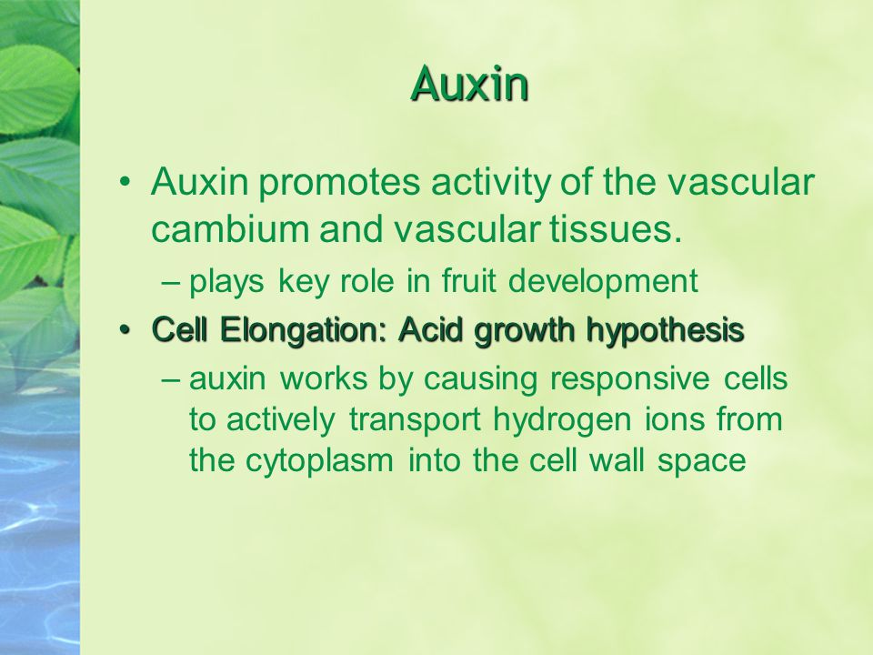Auxin Auxin promotes activity of the vascular cambium and vascular tissues. plays key role in fruit development.