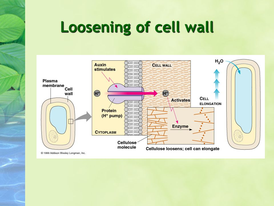 Loosening of cell wall