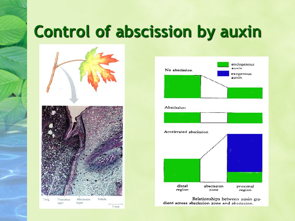 Control of abscission by auxin