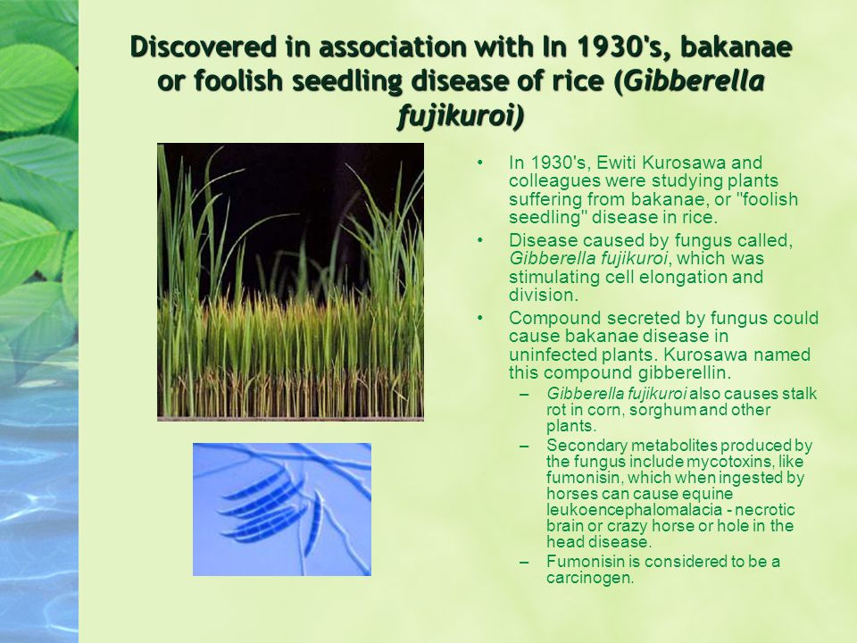 Discovered in association with In 1930 s, bakanae or foolish seedling disease of rice (Gibberella fujikuroi)