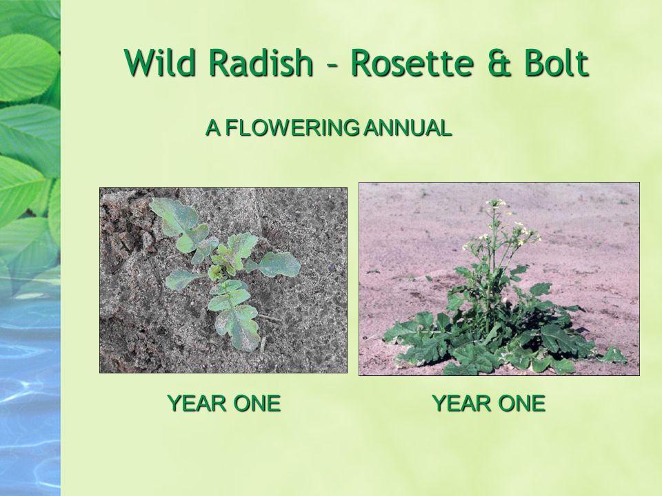 Wild Radish – Rosette & Bolt