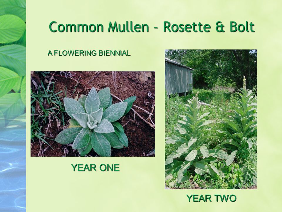 Common Mullen – Rosette & Bolt