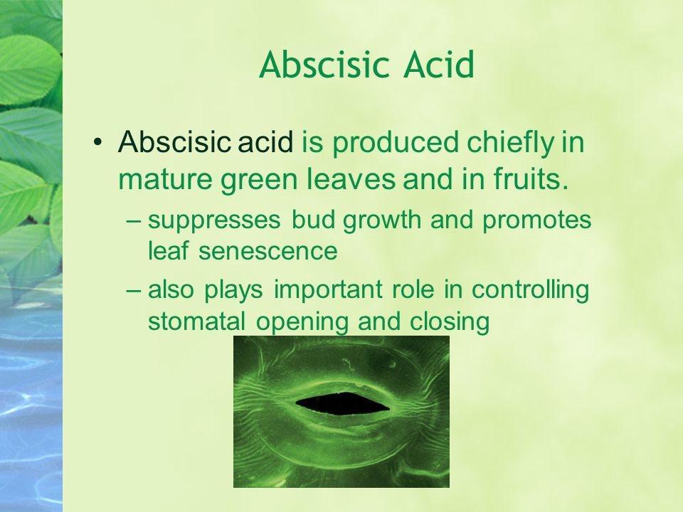Abscisic Acid Abscisic acid is produced chiefly in mature green leaves and in fruits. suppresses bud growth and promotes leaf senescence.