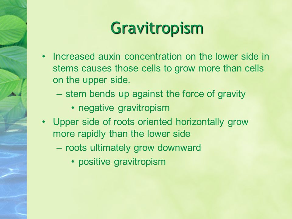 Gravitropism Increased auxin concentration on the lower side in stems causes those cells to grow more than cells on the upper side.