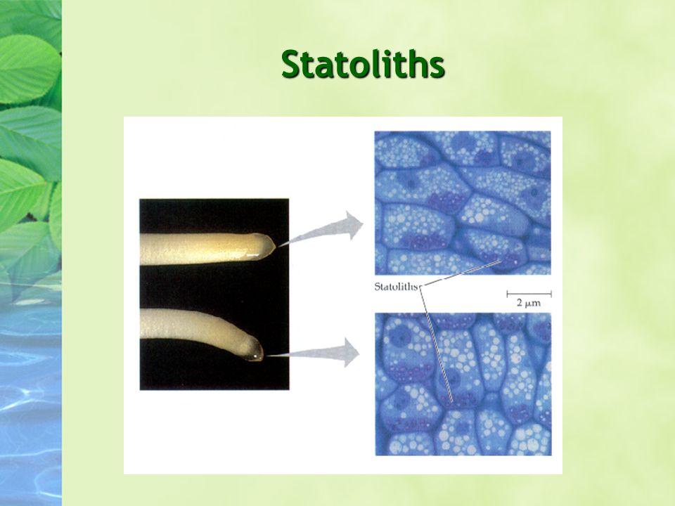 Statoliths