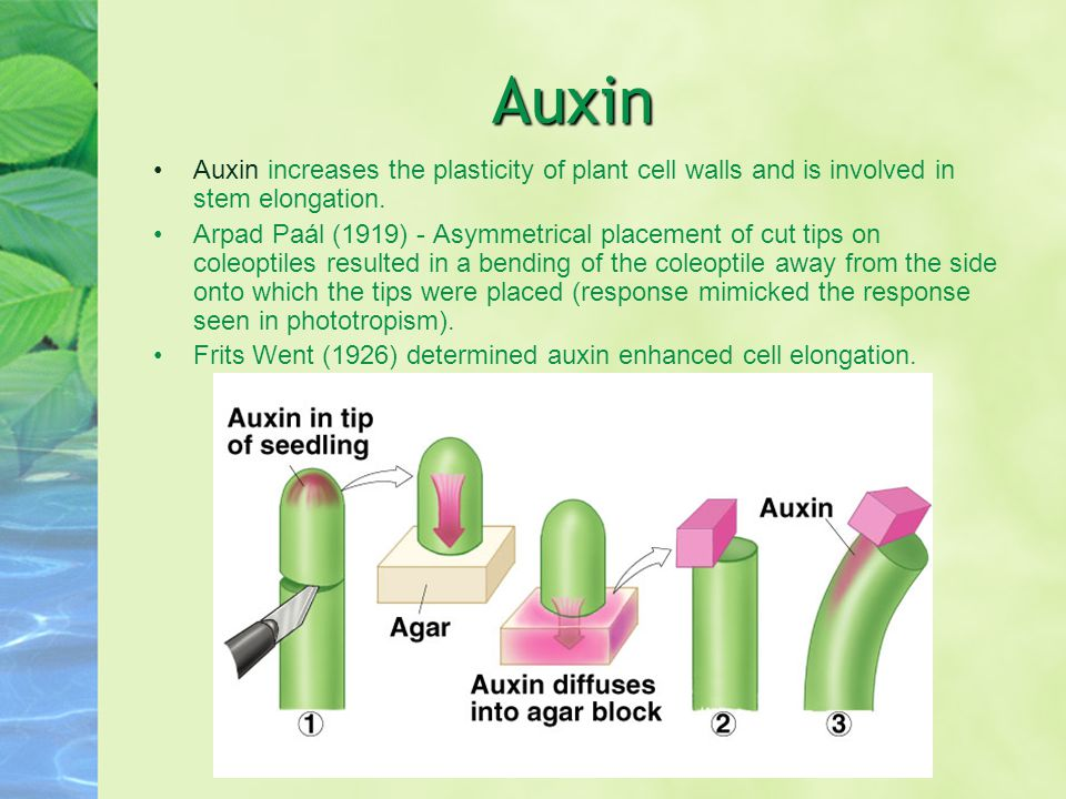 Auxin Auxin increases the plasticity of plant cell walls and is involved in stem elongation.