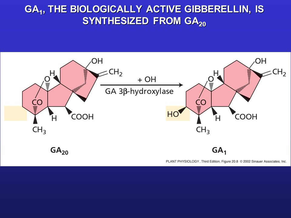 GA1, THE BIOLOGICALLY ACTIVE GIBBERELLIN, IS SYNTHESIZED FROM GA20
