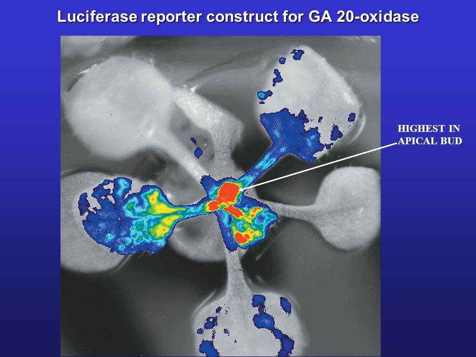 Luciferase reporter construct for GA 20-oxidase
