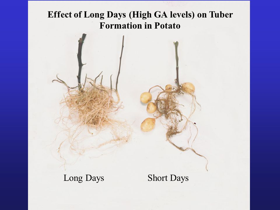 Effect of Long Days (High GA levels) on Tuber Formation in Potato