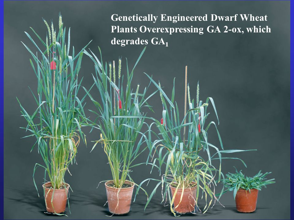 Genetically Engineered Dwarf Wheat Plants Overexpressing GA 2-ox, which degrades GA1