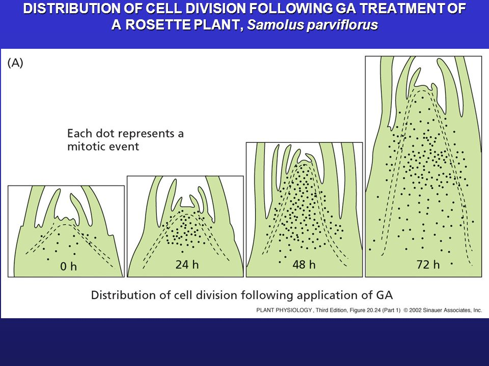 DISTRIBUTION OF CELL DIVISION FOLLOWING GA TREATMENT OF A ROSETTE PLANT, Samolus parviflorus