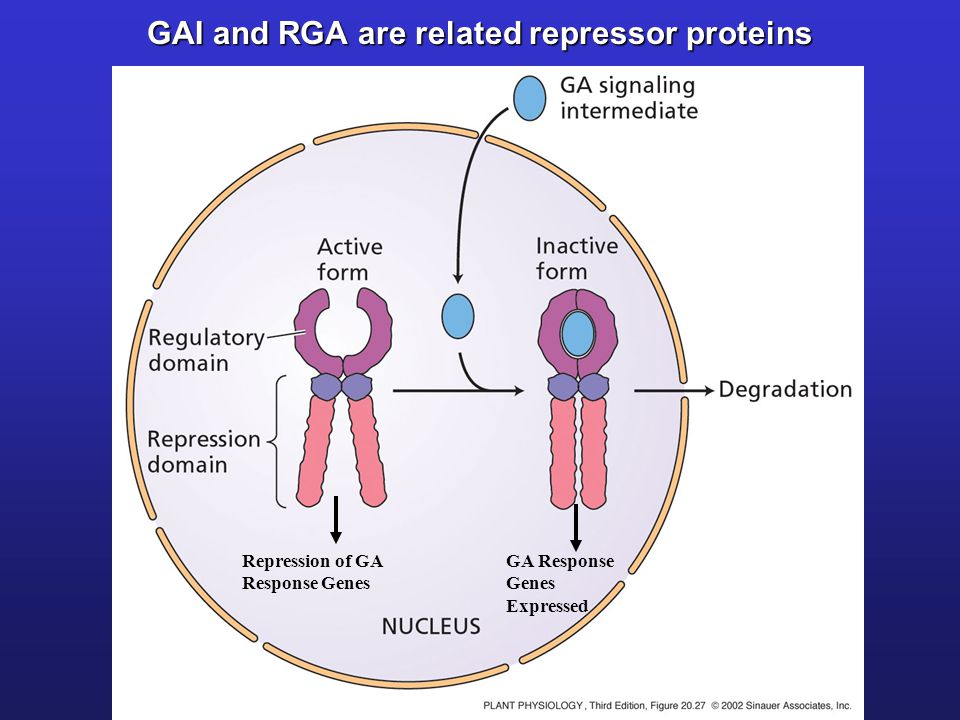 GAI and RGA are related repressor proteins