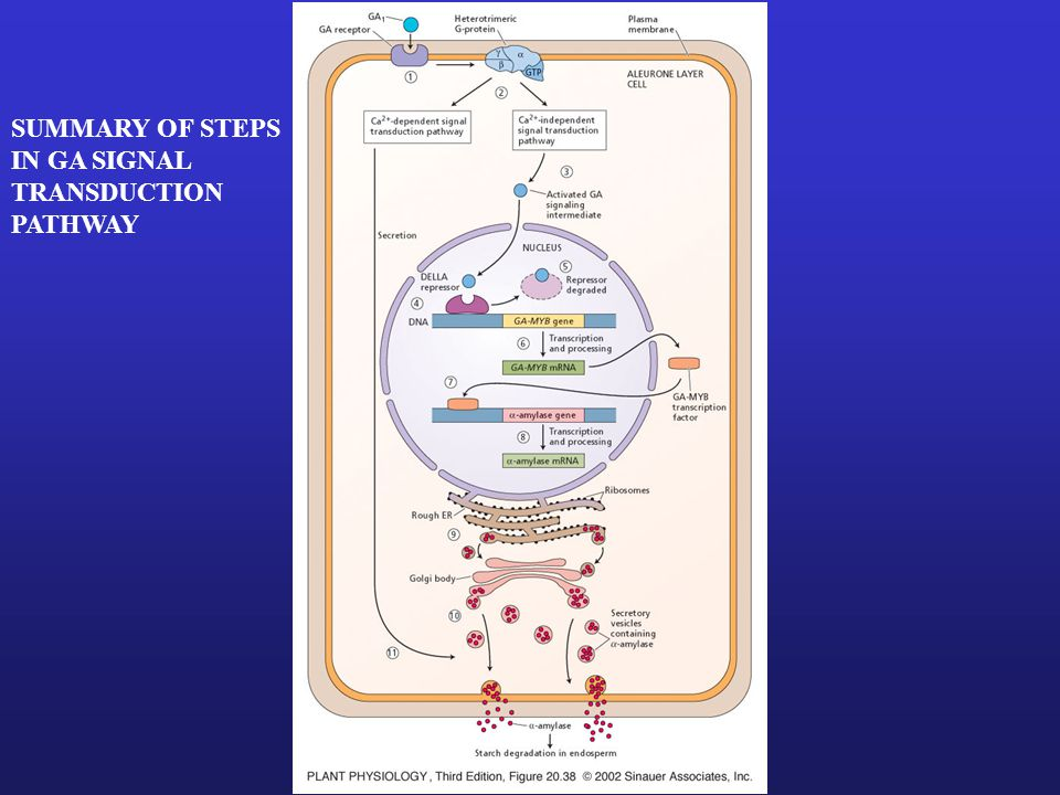 SUMMARY OF STEPS IN GA SIGNAL TRANSDUCTION PATHWAY