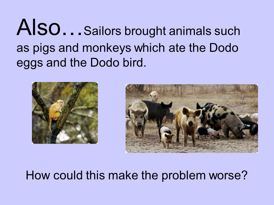 Also…Sailors brought animals such as pigs and monkeys which ate the Dodo eggs and the Dodo bird.