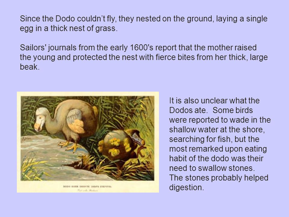 Since the Dodo couldn't fly, they nested on the ground, laying a single egg in a thick nest of grass.