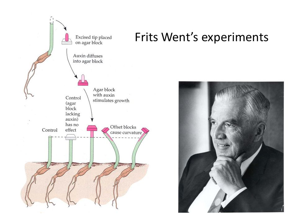 Frits Went's experiments
