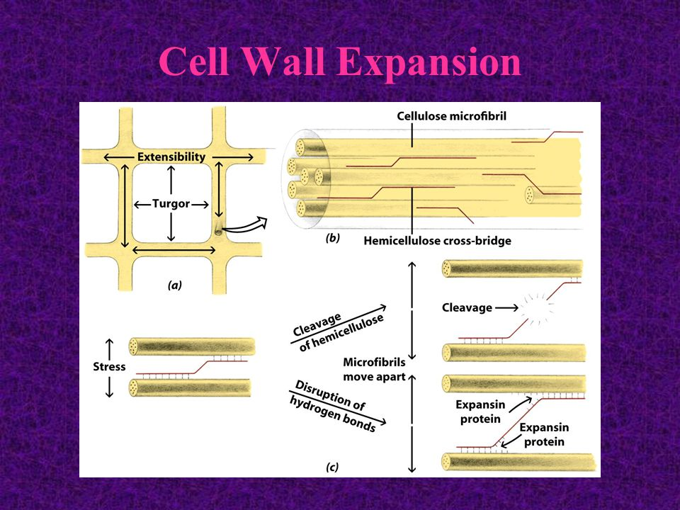 Cell Wall Expansion