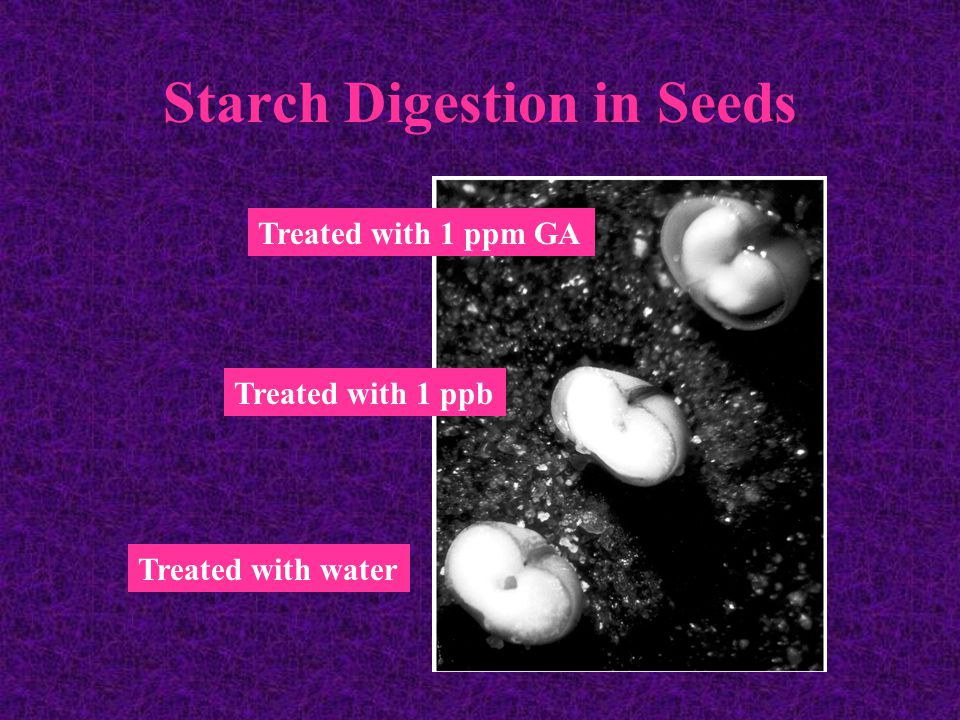 Starch Digestion in Seeds