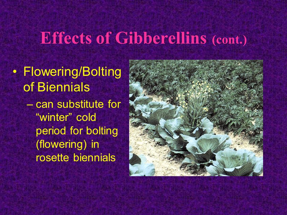Effects of Gibberellins (cont.)