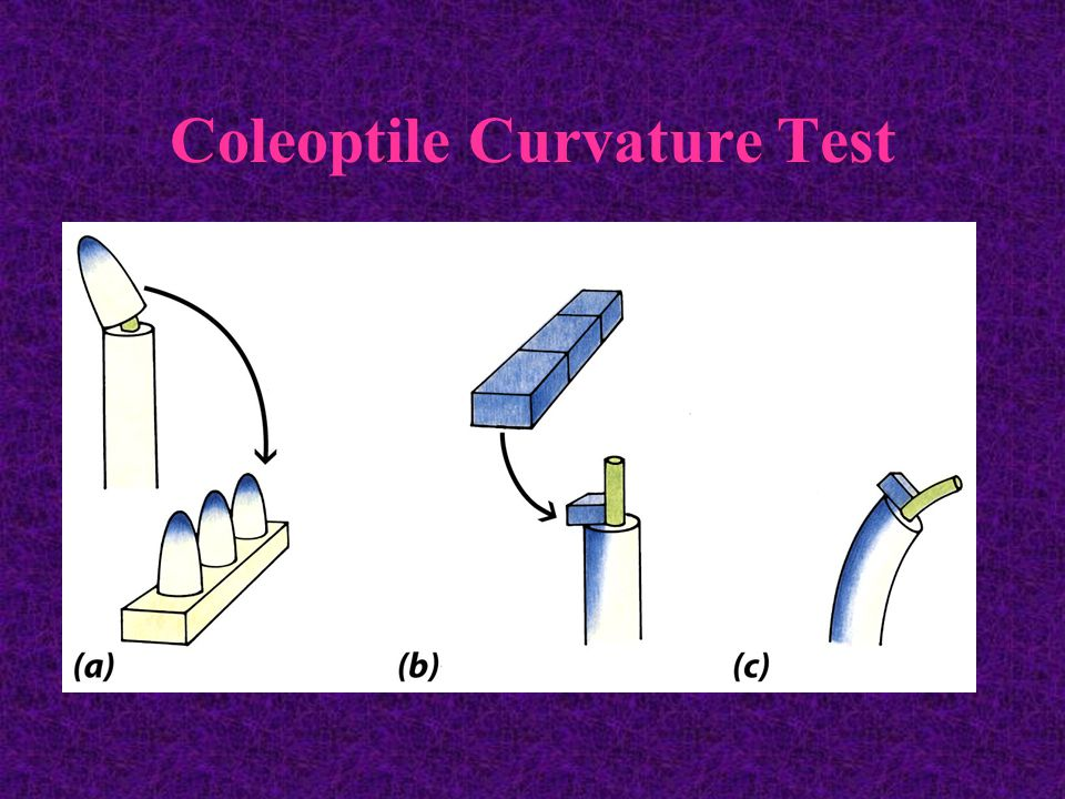 Coleoptile Curvature Test