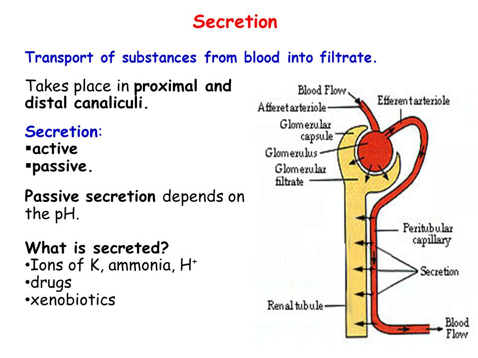 Secretion Takes place in proximal and distal canaliculi. Secretion: