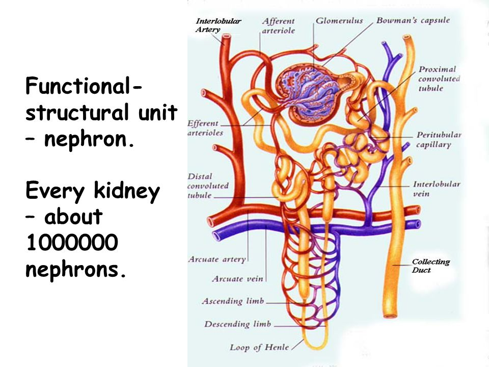 Functional-structural unit – nephron.