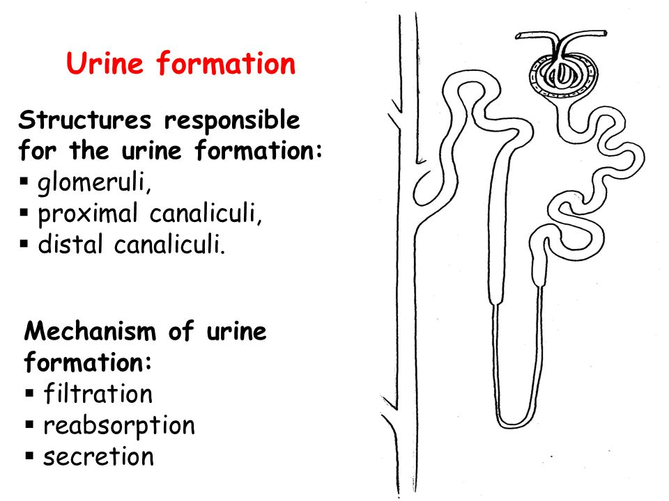 Urine formation Structures responsible for the urine formation: