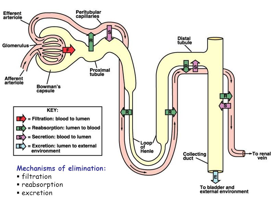 Mechanisms of elimination: filtration reabsorption excretion