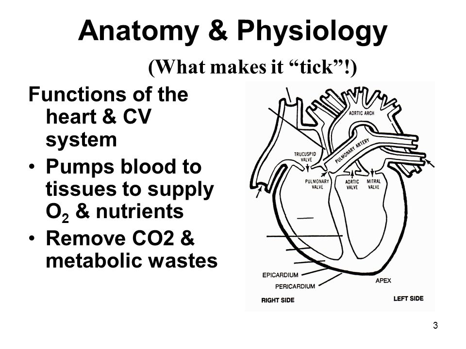 Anatomy & Physiology (What makes it tick !)