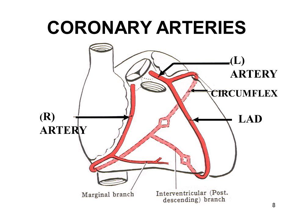 CORONARY ARTERIES (L) ARTERY CIRCUMFLEX (R) ARTERY LAD