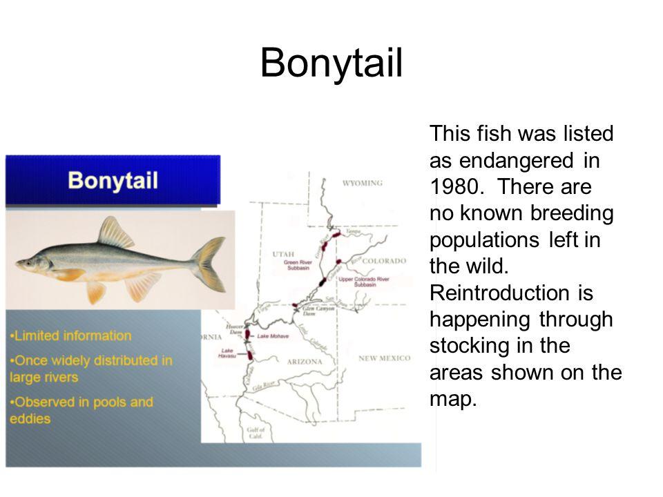 Bonytail