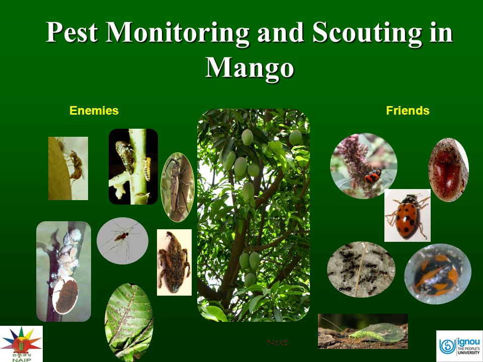 Pest Monitoring and Scouting in Mango