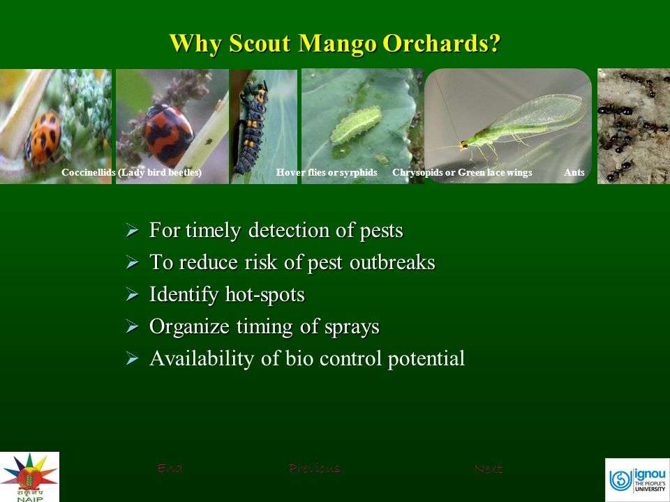 Why Scout Mango Orchards