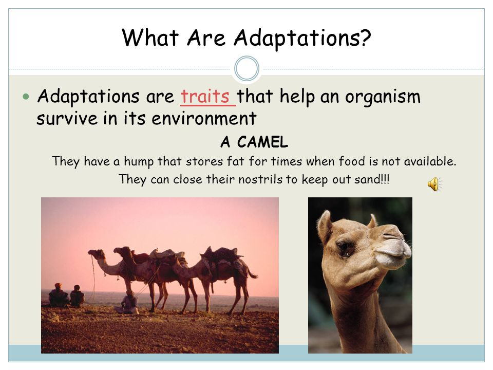 What Are Adaptations Adaptations are traits that help an organism survive in its environment. A CAMEL.