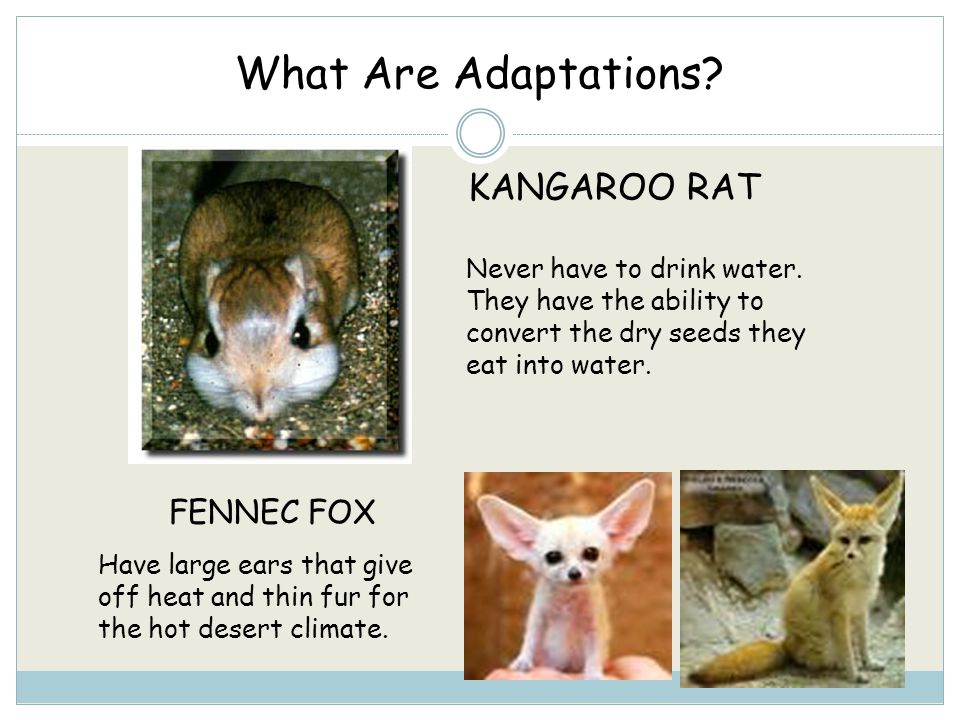 What Are Adaptations KANGAROO RAT FENNEC FOX