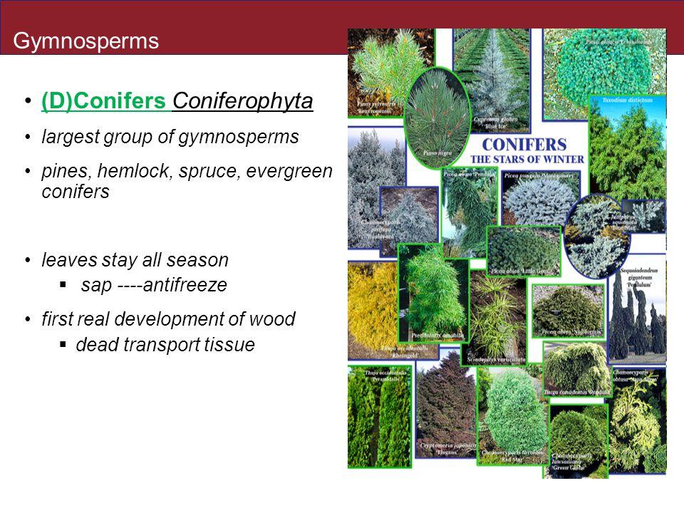 (D)Conifers Coniferophyta