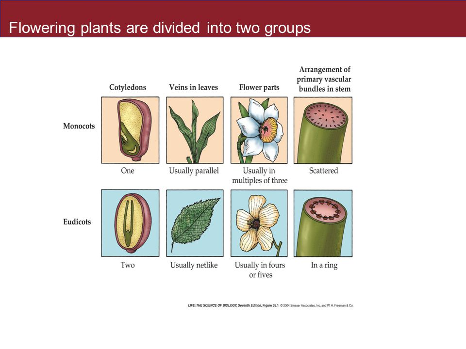 Flowering plants are divided into two groups